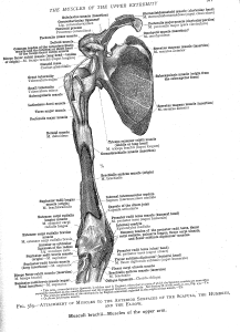 shouldermuscles7
