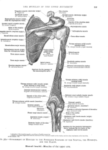 shouldermuscles8